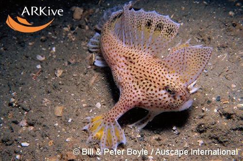 Coffinfish - peces exoticos del fondo del mar