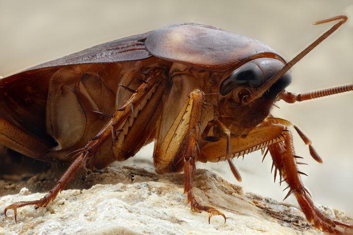 cucarachas dificiles de matar