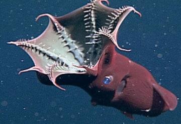 calamar vampiro en el oceano