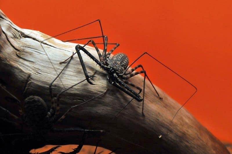 arañas mas raras y curiosas